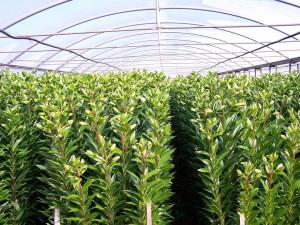 come-coltivare-lilium