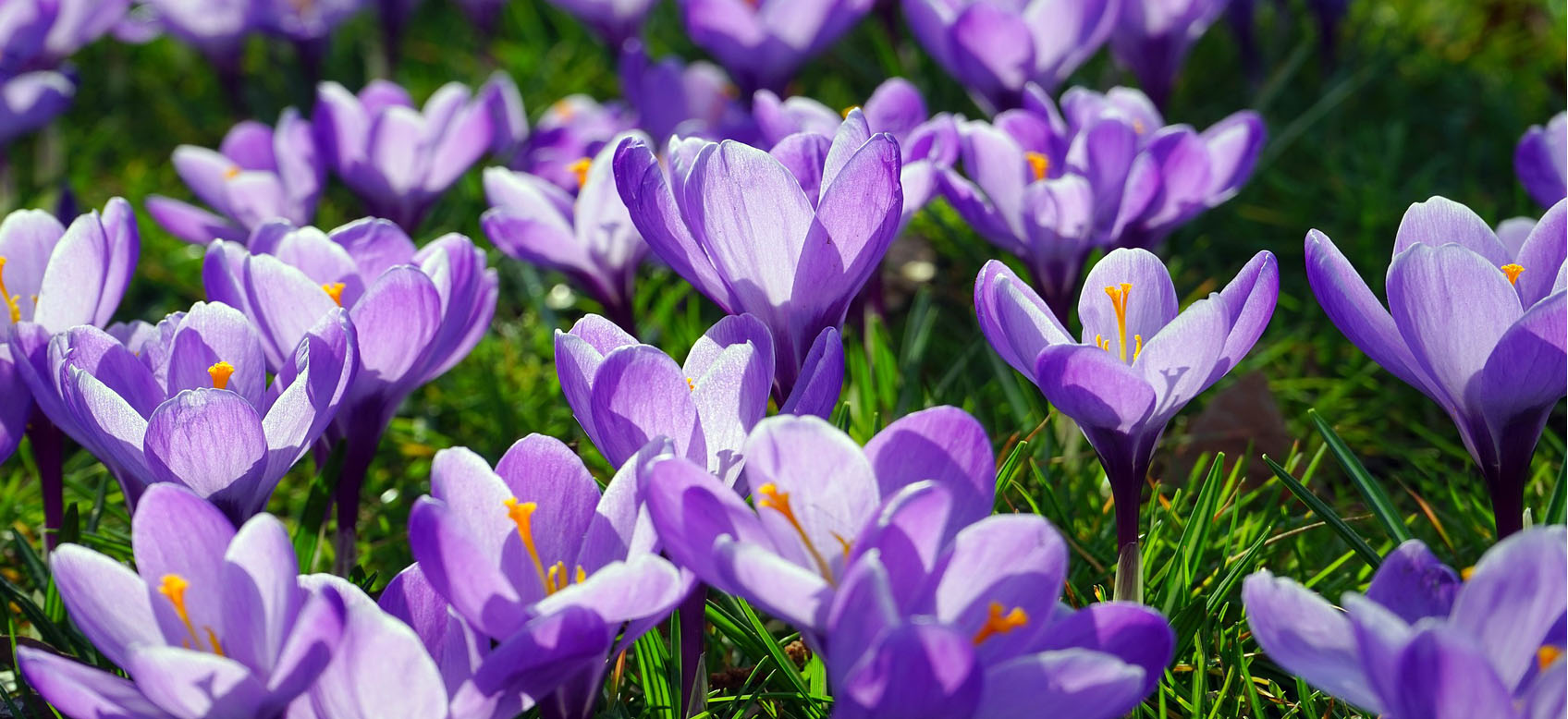 come-piantare-crocus