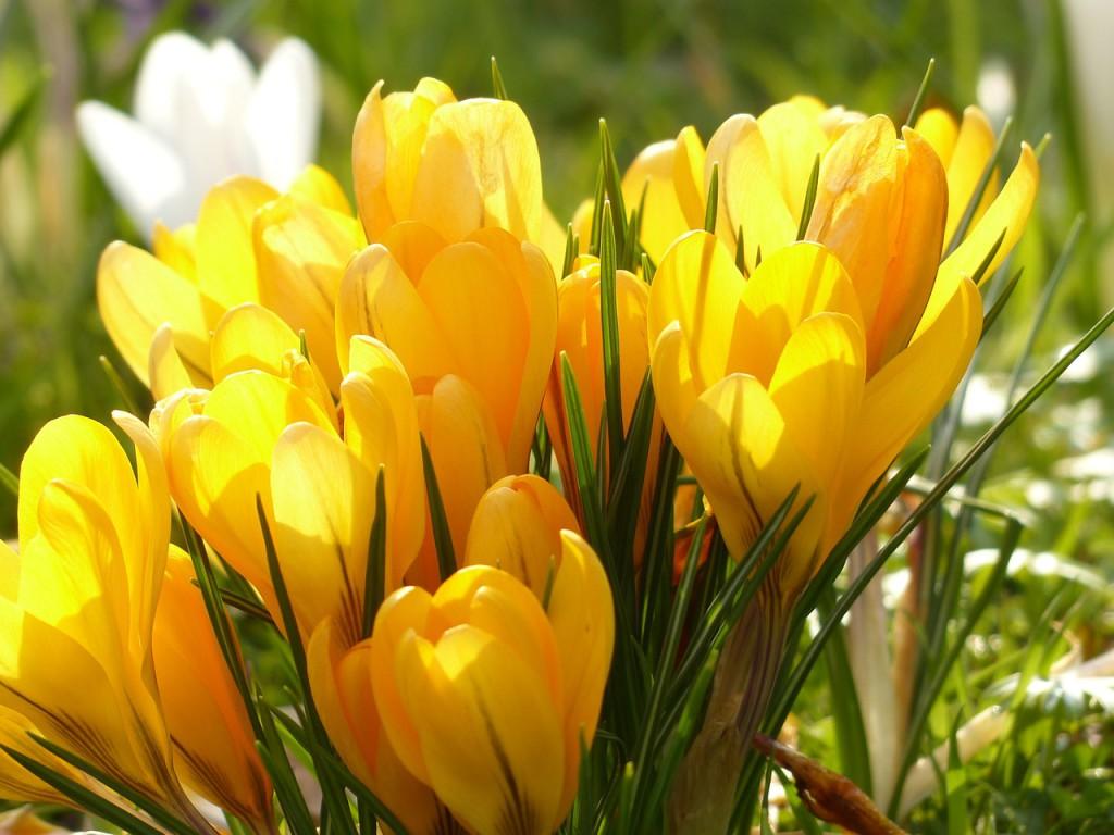 crocus-fioriti