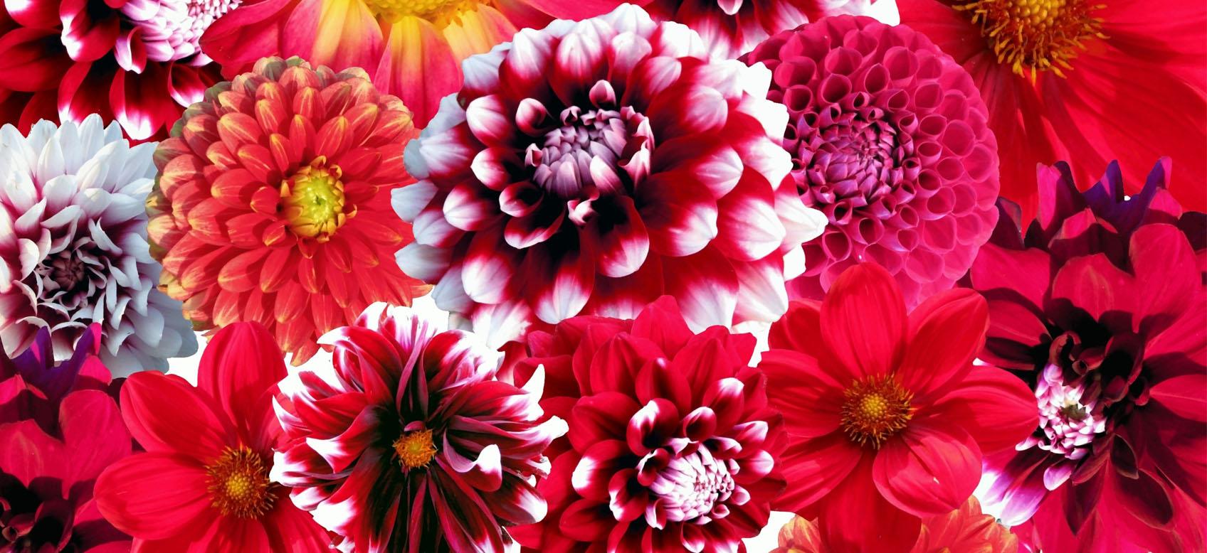 Quali Bulbi Piantare In Primavera dalia: consigli su come piantare i bulbi da fiore