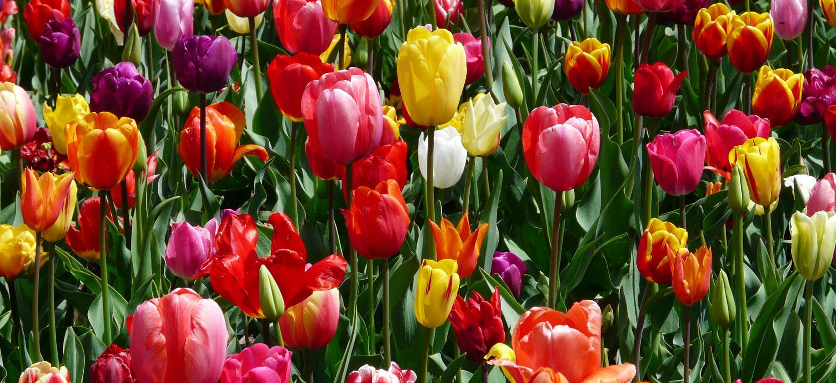 Piantare I Bulbi Di Tulipani come piantare i bulbi di tulipano - guida online