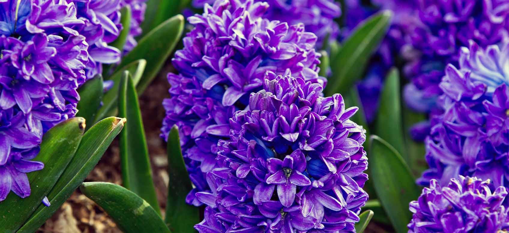 Quali Bulbi Piantare In Primavera il 1° blog sui bulbi online